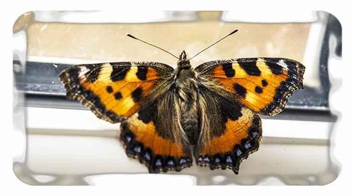 К чему в окно залетела бабочка шоколадница. к чему бабочка залетает в дом - законы