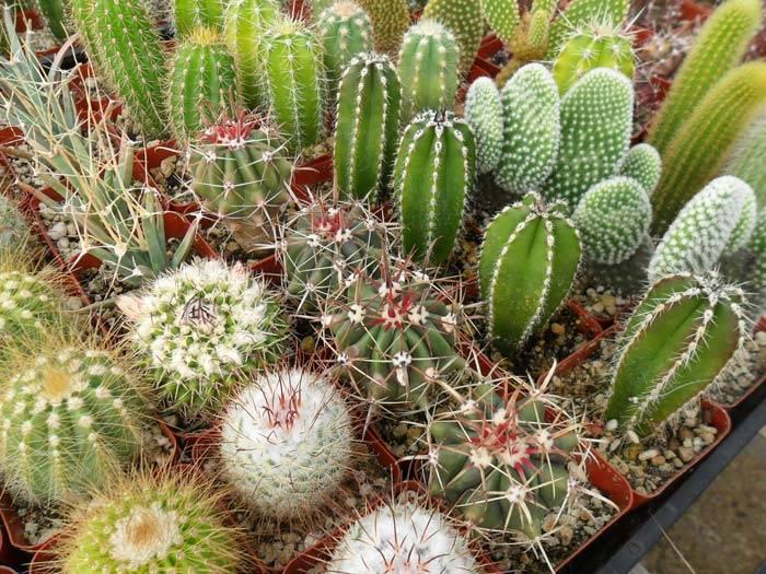 Приметы про кактусы в доме