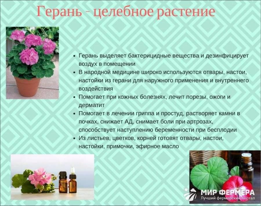 Приметы о цветке герань