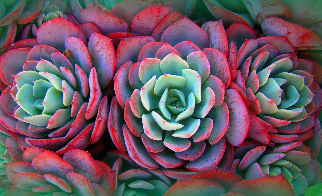 Каменная роза. приметы и уход - уют в доме