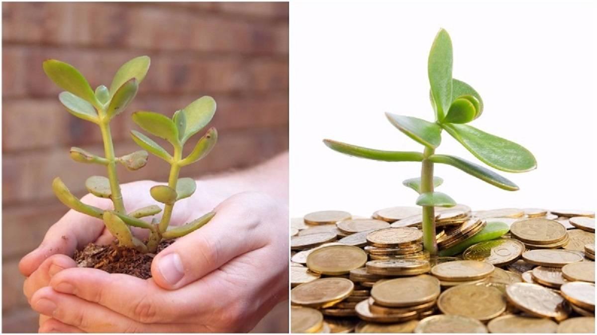 Как сажать денежное дерево для привлечения денег