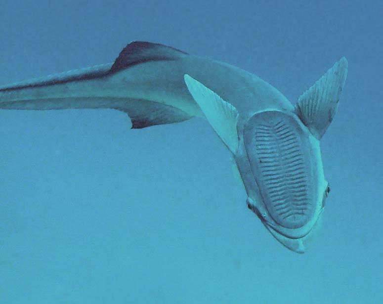 Ремора — рыба, останавливающая корабли