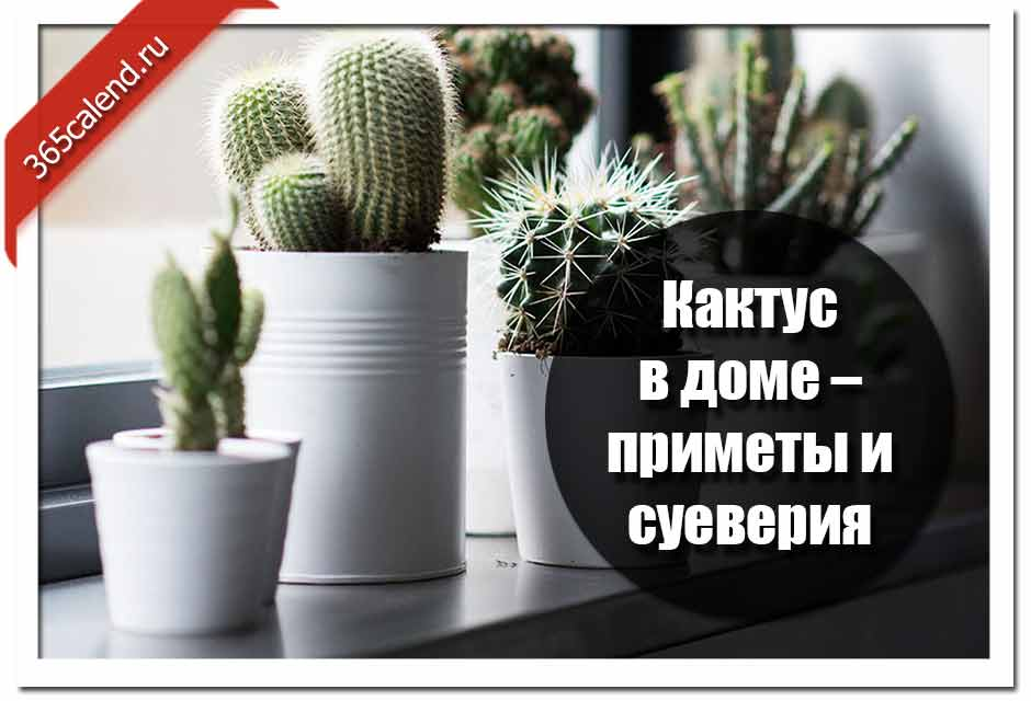 Можно ли держать кактус в доме: энергетика растения, приметы и суеверия
