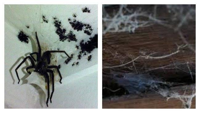 К чему снится много пауков
