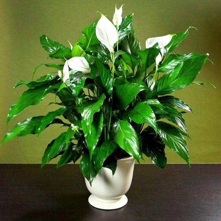 Цветок женское счастье (спатифиллум) - приметы и суеверия для женщин