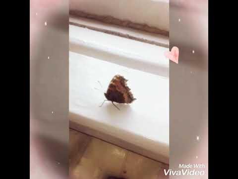 К чему в окно залетела бабочка шоколадница. к чему бабочка залетает в дом