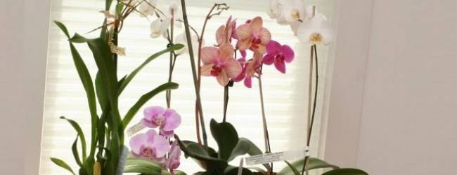Почему нельзя держать дома орхидеи: суеверия и факты о таинственной красавице