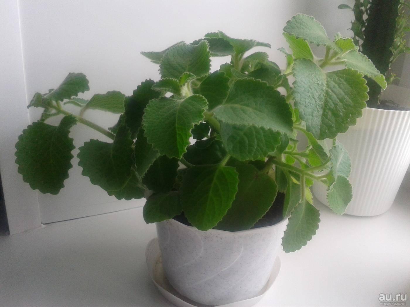 Выращивание плектрантуса комнатной мяты: как посадить, ухаживать, удобрять, размножать