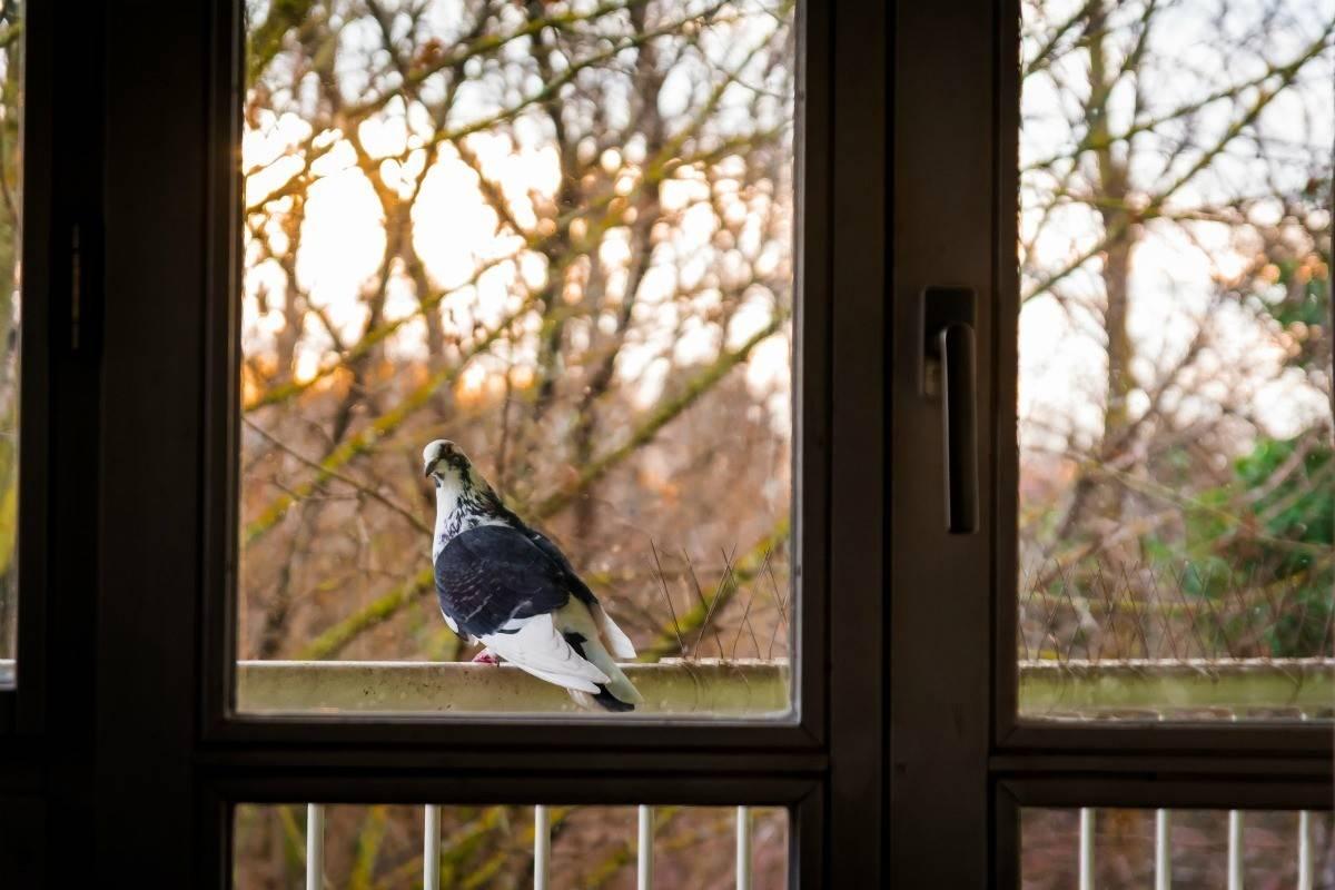 Голубь садится на карниз окна примета. голубь сел за окном на подоконник? к чему это? подробное толкование приметы. народные приметы о голубях