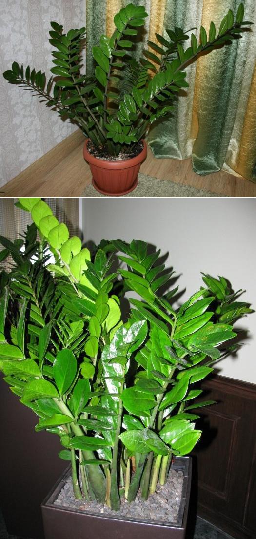 Замиокулькас (цветок безбрачия): фото, суеверия и приметы в доме