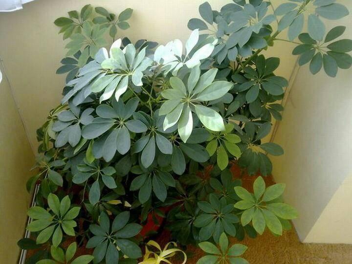 Шефлера в доме: приметы, свойства, уход за растением