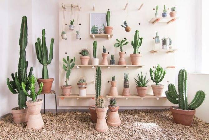 Можно ли держать дома кактусы — приметы предков