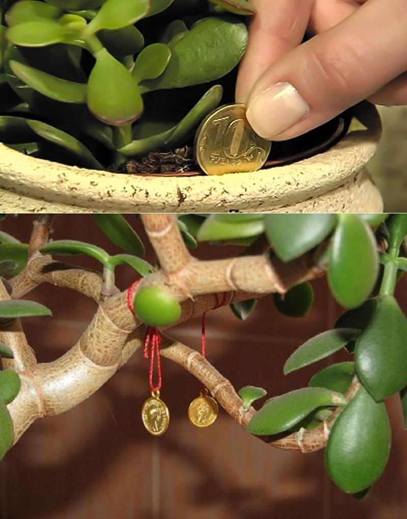 Денежное дерево для привлечения денег - приметы и суеверия