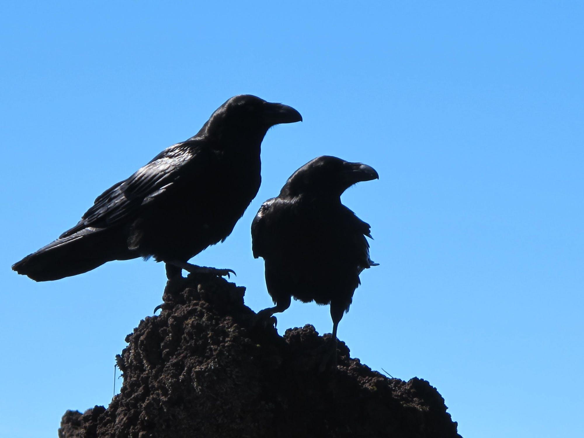 Ворона села на голову, напала или пролетела мимо — толкования примет