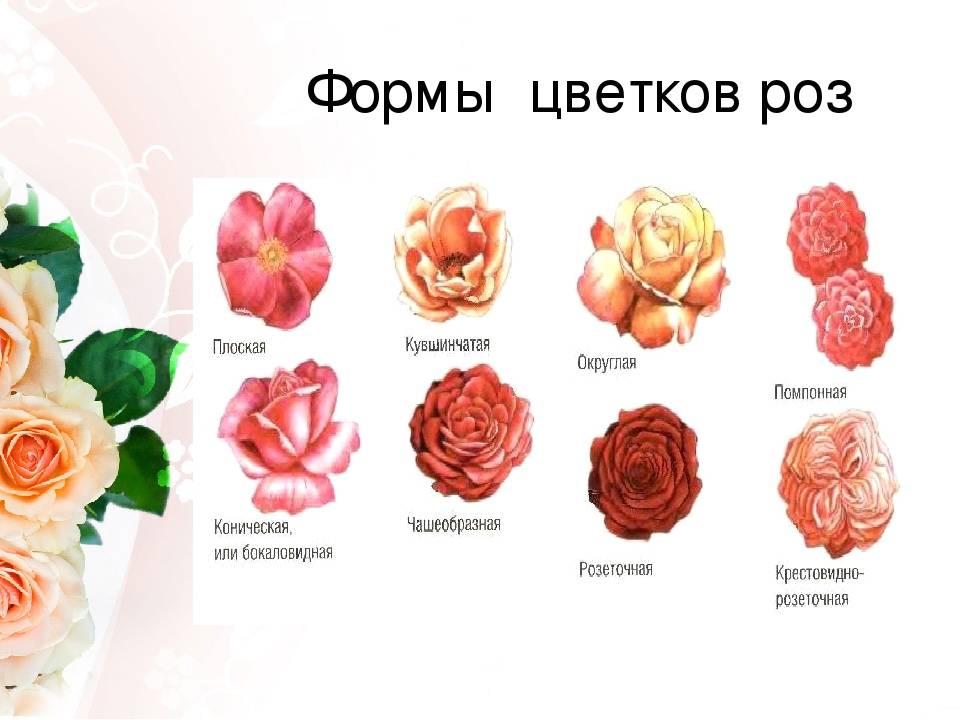 Количество роз в букете значение
