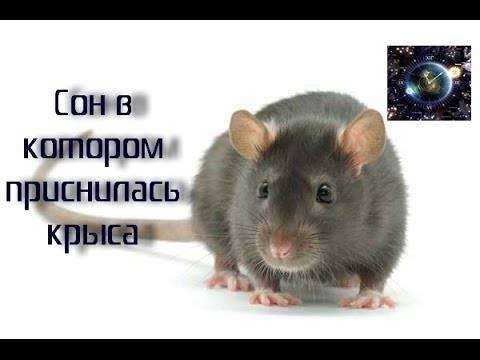 К чему снится крыса во сне?