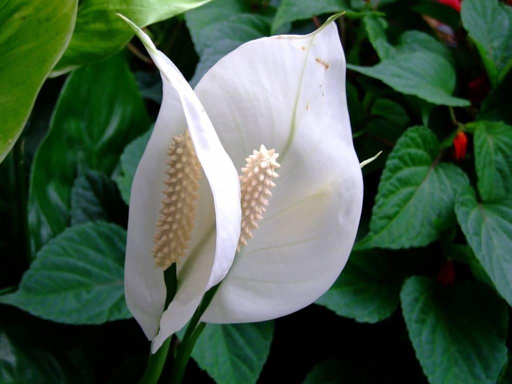 Приметы: спатифиллум в доме – цветы «женское счастье»