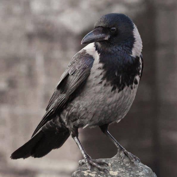 Приметы про ворон: села на голову, залетела в окно