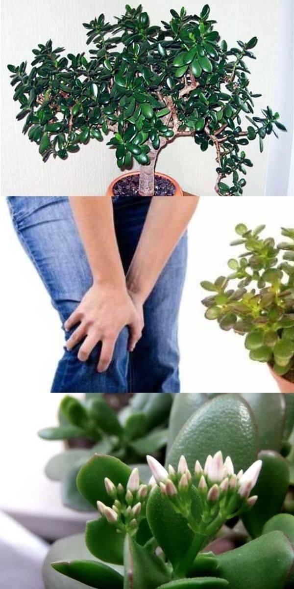 Денежный дерево. лечебные свойства живого дерева и магия целительных растений
