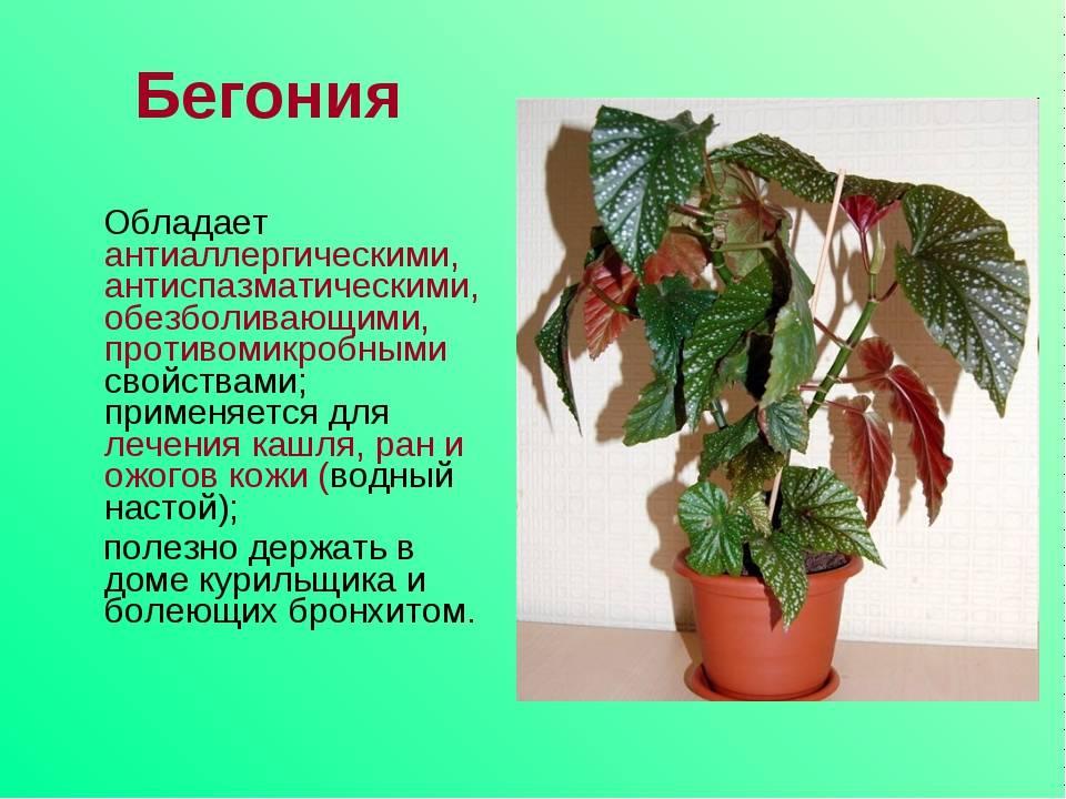 Бегония в доме: уход за растением и приметы