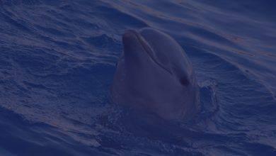 Сон о дельфинах может толковаться по-разному, к чему же человеку снится дельфин?