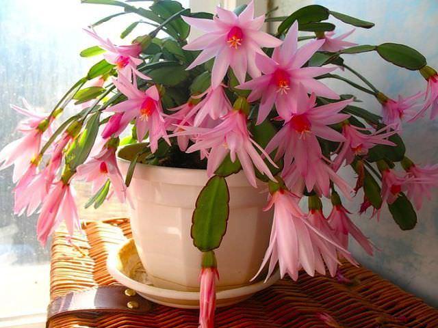 Цветок Декабрист — приметы плохие и хорошие